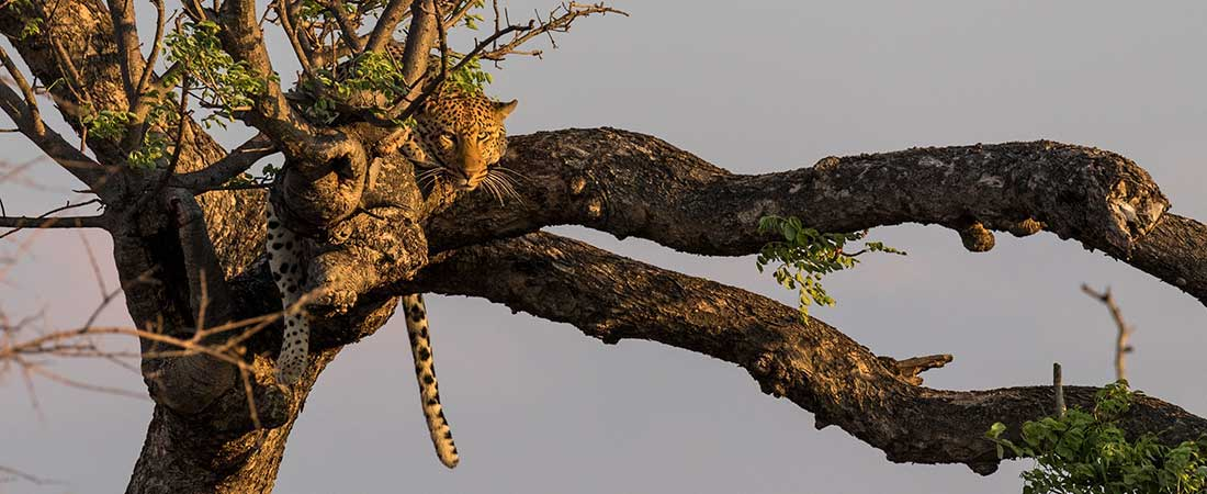 Leopard up the tree