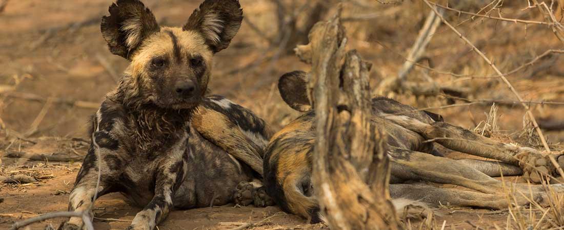 Madikwe Wild Dogs